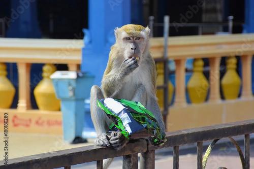 Aluminium Aap Monkey is eating chips