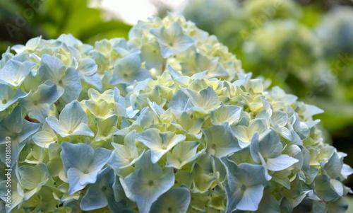 Aluminium Hydrangea Pale Blue Hydrangea, Close