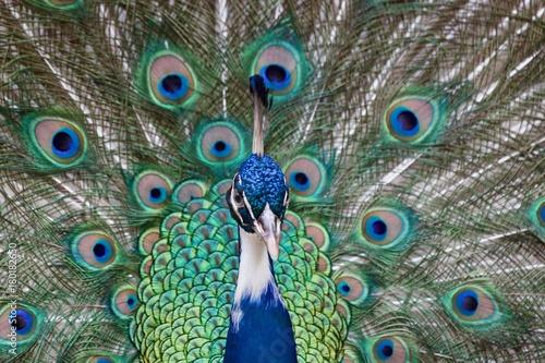 Fotobehang Pauw Peacock Close Up