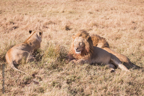 Couple of lions masai mara in kenya africa Poster