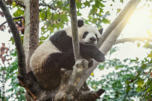 Plexiglas Panda Giant Panda sleeps on the tree.