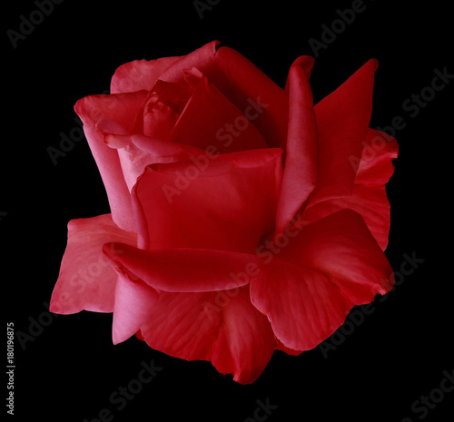 Fotobehang Rood paars Rose red flower on black isolated background with clipping path. no shadows. Closeup. Nature.