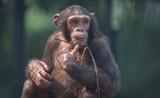 Chimpanzee in close up view - 180198489