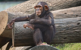 Chimpanzee in relaxed sitting posture