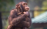 Chimpanzee with a lovely thoughtful expression - 180198852