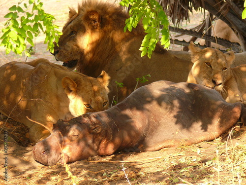 Fotobehang Lion lions