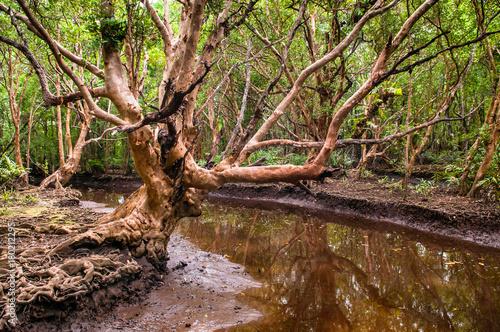 Fotobehang Thailand Big tree in lush mangrove forest, Thailand