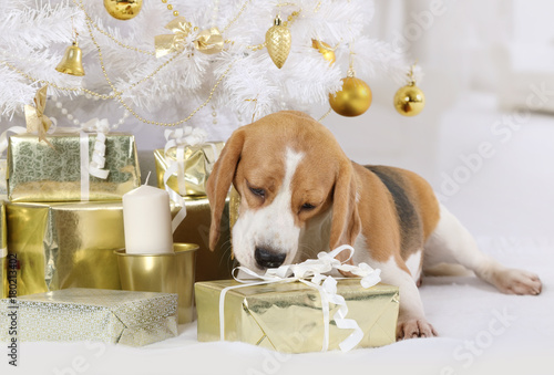 Beagle dog with a gift package indoors