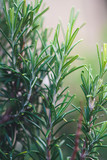 Close-up of a fresh rosemary garden ourdoor - 180216063