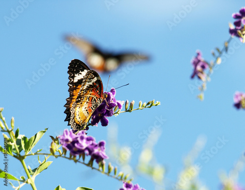 Fotobehang Vlinder Leopard Lacewing Butterfly with Other One Coming in to Land