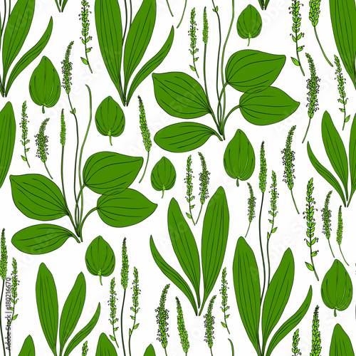 Seamless herbal pattern Great plantain, Plantago major medicinal plant wild field flower isolated on white background, hand drawn vector illustration texture for design package tea, cosmetic, medicine © m_e_l
