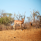 wild impala in the winter  bush - 180218065