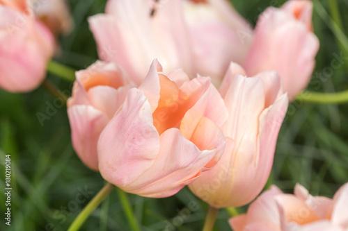 Fotobehang Lichtroze Pink tulip in the field