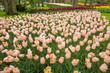 Colorful tulips in the Keukenhof garden - 180219447