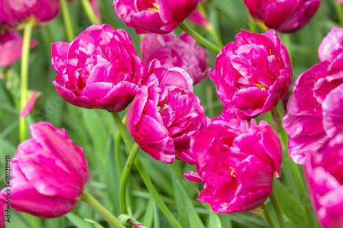 Poster Roze purple tulip flower field in the garden