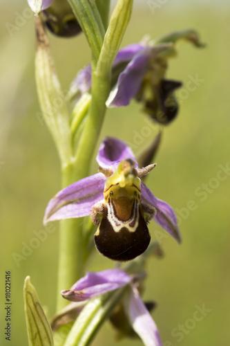 Plexiglas Iris Ophrys apifera