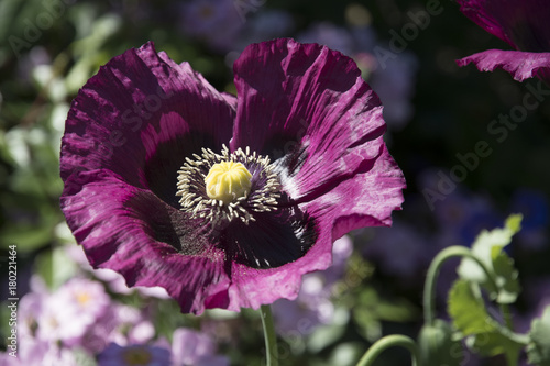 Foto op Plexiglas Klaprozen A full opened flower of a poppy