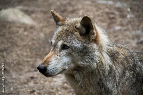 Aluminium Wolf Wölfe
