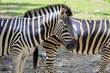 Image of an zebra on nature background. Wild Animals.