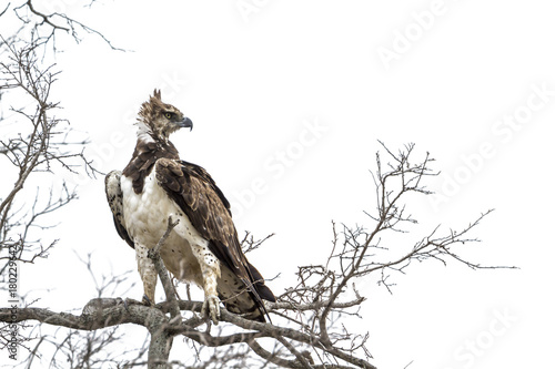 Fotobehang Eagle Martial Eagle in Kruger National park, South Africa