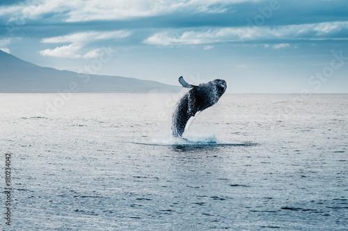 balena megattera salto in islanda Poster