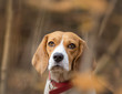 Beagle dog portrait in the forest