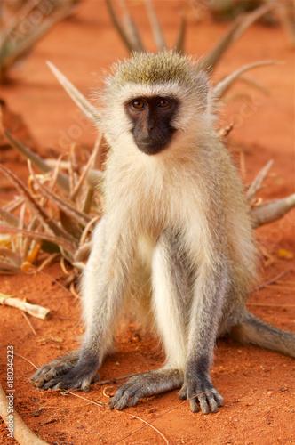 Poster Monkey in savanna in Africa
