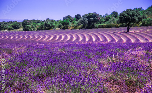 Poster Snoeien Lavender fields in France