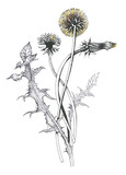 Isolated blooming meadow flower form print natural outline floral white spring ornament monochrome petal organic leaf holiday botanic summer graphic blossom drawing black daisies chamomile stem garden