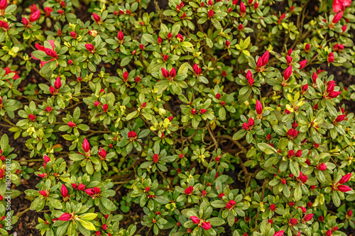 Plexiglas Azalea Floral background of azalea (rhododendron)