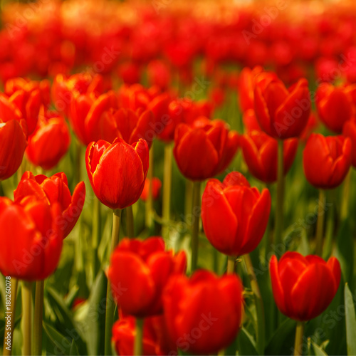 Papiers peints Rouge traffic Beautiful flowers background.