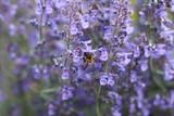 Bourdon sur une fleur mauve - 180263864