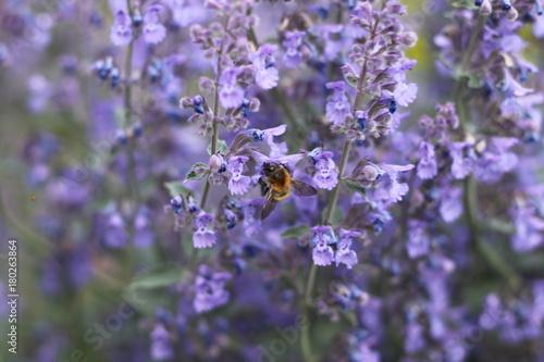 Tuinposter Lavendel Bourdon sur une fleur mauve