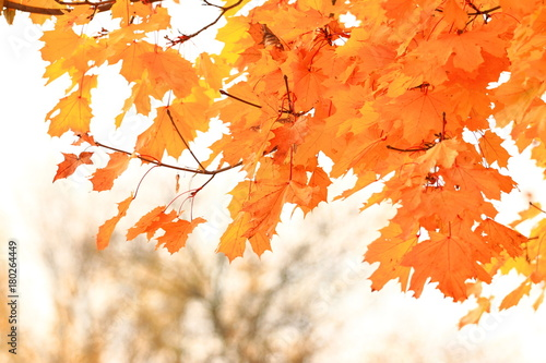 Fotobehang Canada Golden autumn leaves on tree