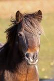 Reitpony Portrait auf der Weide - 180268424