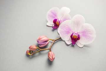 White orchid with buds on the grey background