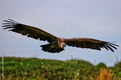Plexiglas Eagle Vulture in flight