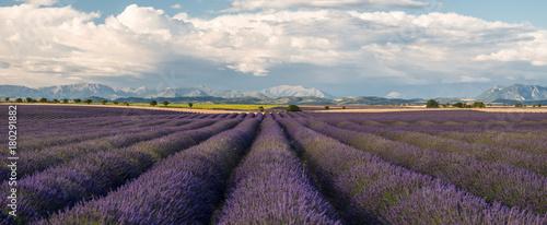 Fotobehang Lavendel Lavender fields