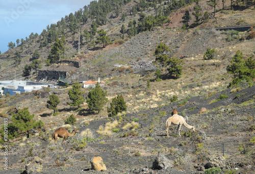 Fotobehang Kameel Dromedar auf La Palma