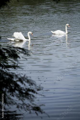 Aluminium Zwaan White swans / white swan lake