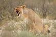 Yawning lioness (Panthera leo), Kalahari desert, South Africa.
