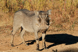 A warthog (Phacochoerus africanus) in natural habitat, South Africa. - 180313471