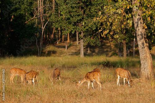 Fotobehang Hert Group of spotted deer (Axis axis) in natural habitat, Kanha National Park, India.