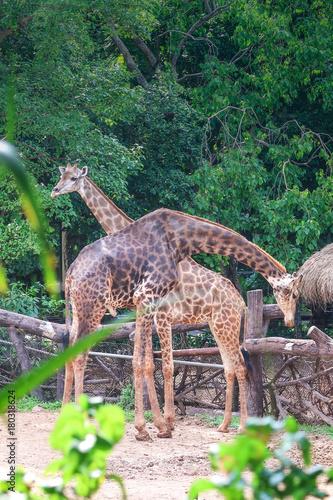 Fotobehang Thailand Giraffe couple in the zoo