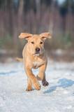 American staffordshire terrier puppy running in winter