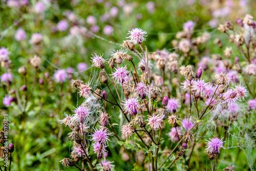 Fotobehang Apotheek deflorate thistle stalks in a field in early autumn