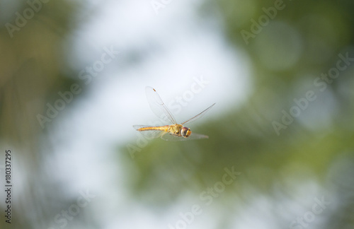 Flying dragonfly with natural background Poster