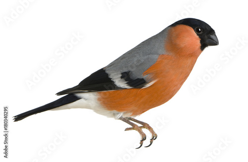 Eurasian Bullfinch, Pyrrhula pyrrhula, in front of white background Poster