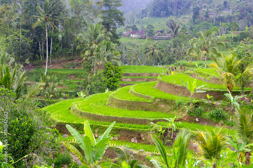 Fotobehang Natuur Pola ryżowe Indonezja