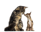 Maine Coon kitten sitting and sniffing a chihuhua - 180344828